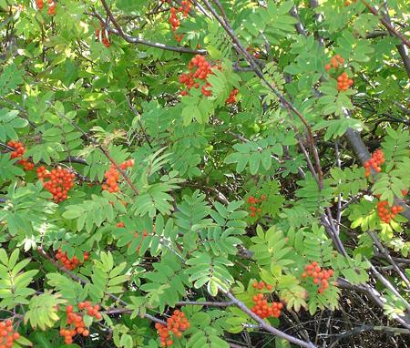 Sorbus spp